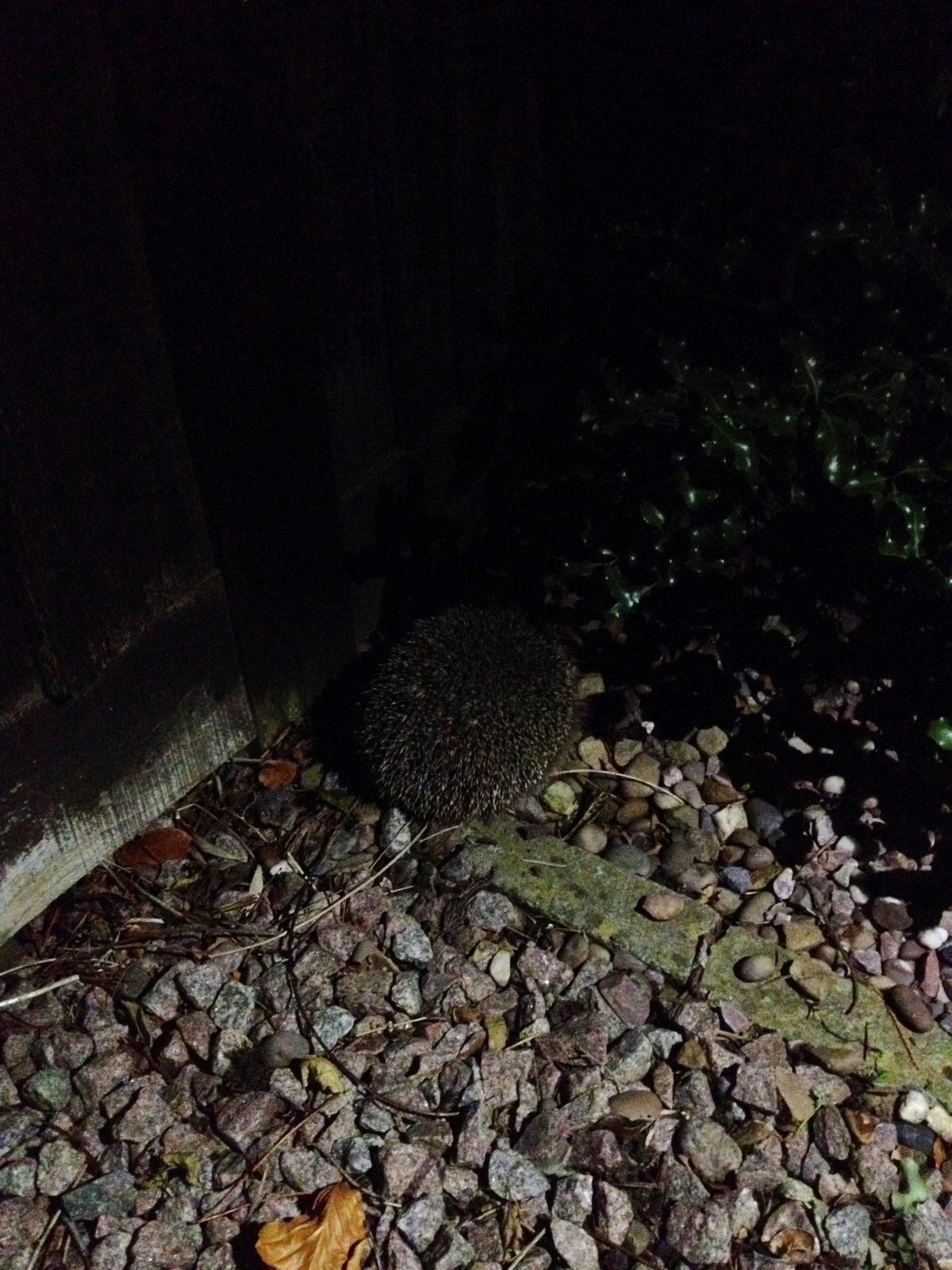 Morris the hedgehog