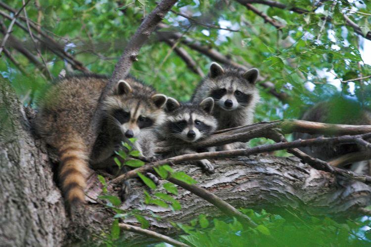 three raccoons in a tree