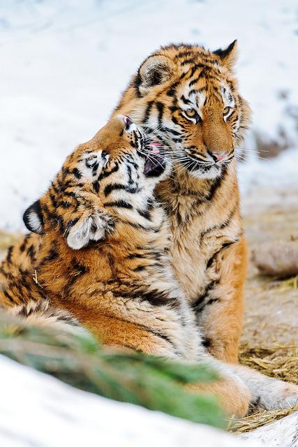 Kissing tiger cubs