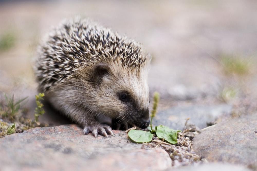 A young European hedgehog